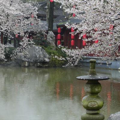 磨山樱园之游