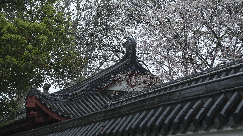 从墙后探出头来的樱花树