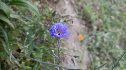 蓝花矢车菊